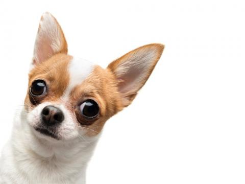 Funny chihuahua with big ears managing ear wax